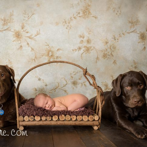 cochrane newborn photographer dogs labradors